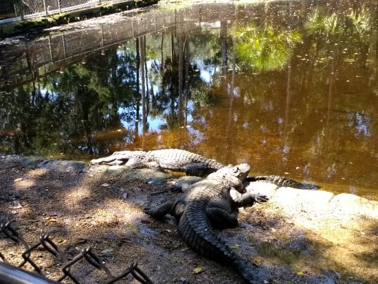 Homosassa Springs, Floride : Alligators
