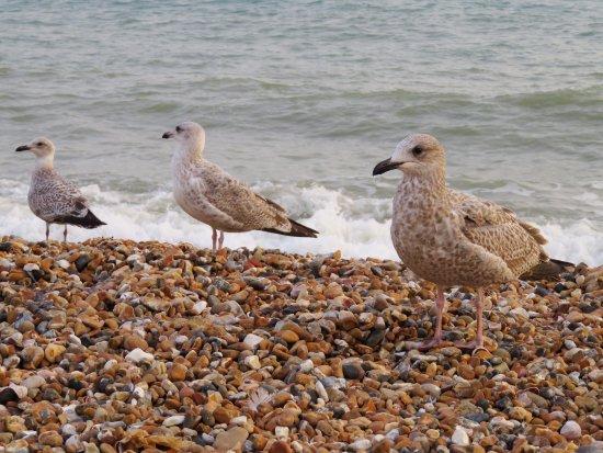 Gulls on Brighton Beach (24/Sept/16).
