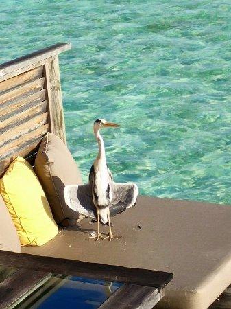 Gili Lankanfushi Maldives: Resident wildlife
