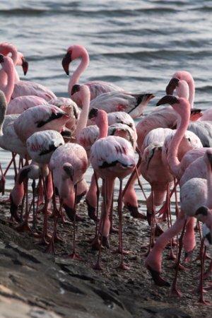 Walvis Bay, Namibia: Pink flamingos