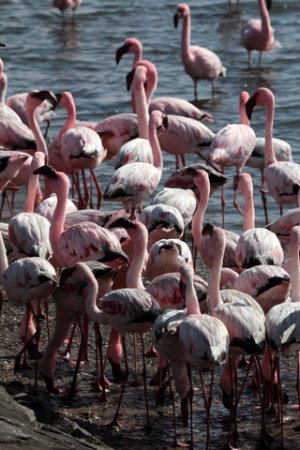 Flamingos at Walvis Bay in Namibia