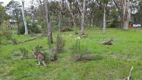 Kyneton, Australië: Wildlife in the resort