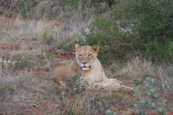 Addo Elephant National Park, Afrique du Sud : one of the group of lions