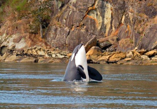 Cowichan Bay, Kanada: Orca spy hopping