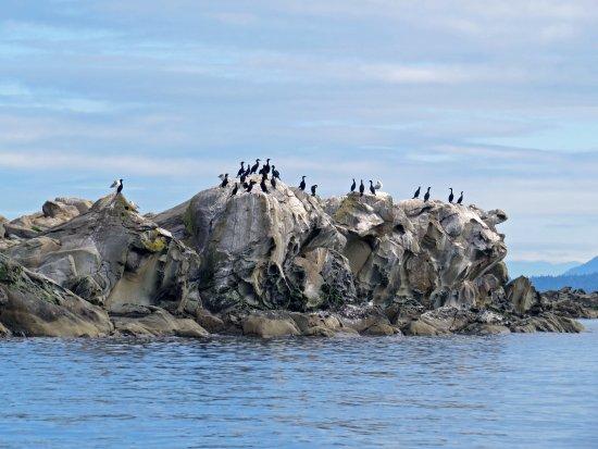 Cowichan Bay, Kanada: Cormorants sunning on rock formation