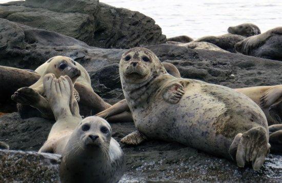 Cowichan Bay, Kanada: Curious harbour seals