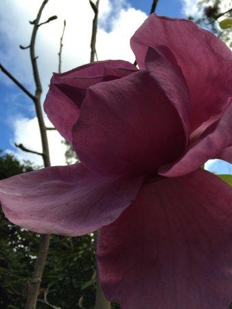 Olinda, Australien: Magnolia