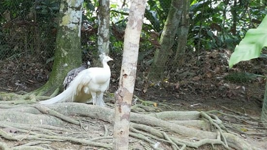 Pahang, Malaysia: Pavo real blanco