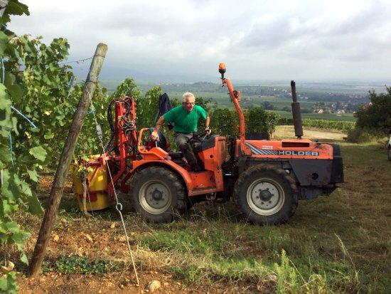 Mittelwihr, ฝรั่งเศส: Тракторик вывозит корзины с виноградом