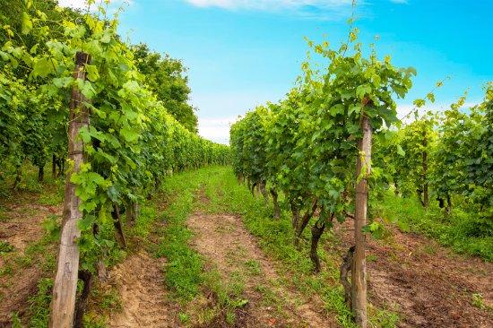 San Damiano d'Asti, Italien: Le vigne