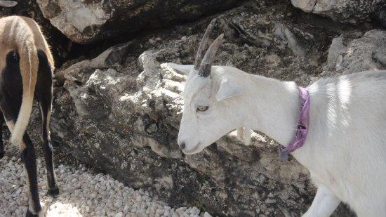 Saint Lucy Parish, Barbados: le caprette fuori la grotta