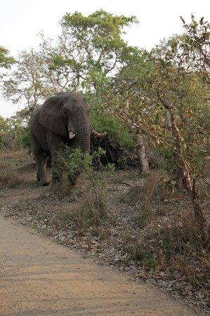 Τζορτζ, Νότια Αφρική: This lone bull elephant wasbeside a small track we drove down, but was only interested in feedin