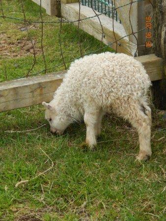 Keflavik, Islandia: Baby lamb