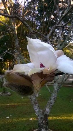 Mount Tamborine, Australië: Magnolia