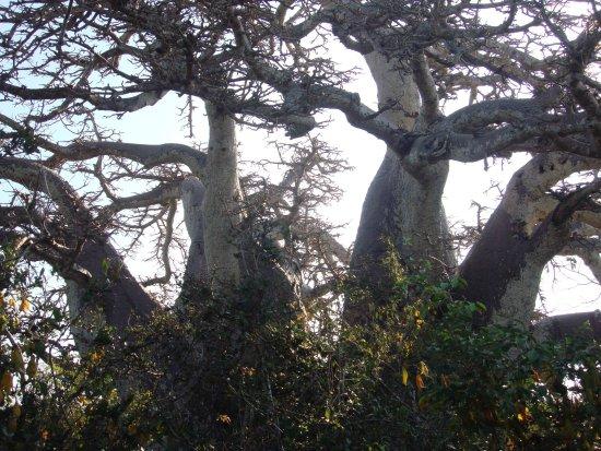 Kalpitiya, Sri Lanka: 1000 year old baobab tree