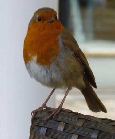 Enfield, UK: Robin Redbreast