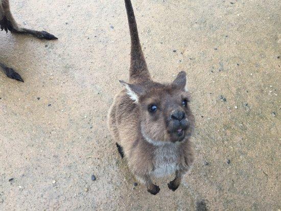 Ballarat, Australia: there were about a hundred free-roaming Kangaroo Island kangaroos. SO ADORABLE