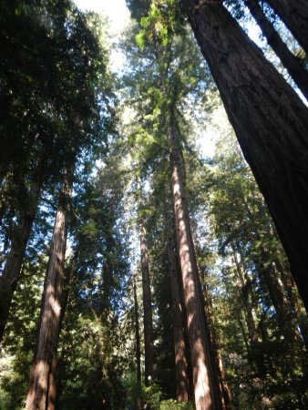 มิลล์แวลลีย์, แคลิฟอร์เนีย: looking up. the trees are so tall