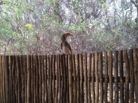 Savute Safari Lodge: Hornbill - eager to find food