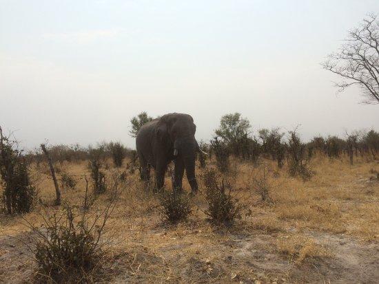 Savute Safari Lodge: Solitairy elephant