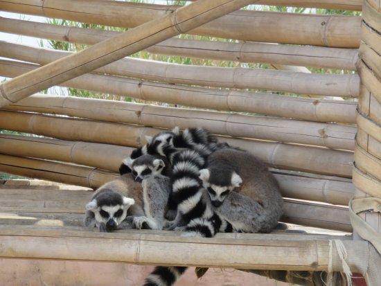 Spata, Grækenland: lemurlar