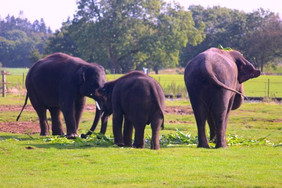 Dunstable, UK: Whipsnade- Elephants Feeding.