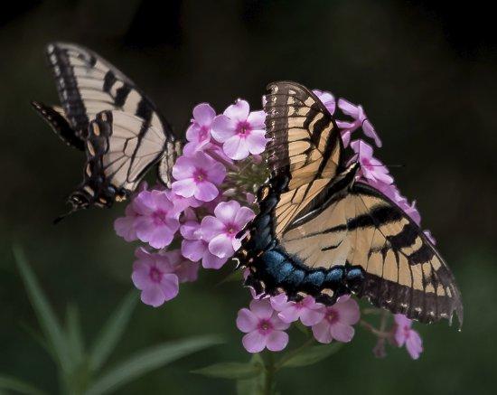 Belmont, Karolina Północna: Butterflies and flowers