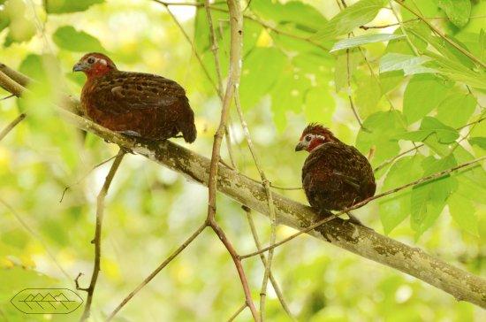 reserva el cairo chestnut woodquail perdiz colorada endemica