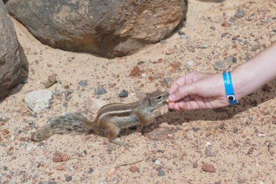 Sotavento Beach Club : Hörnchen in den Felsen - sehr zutraulich