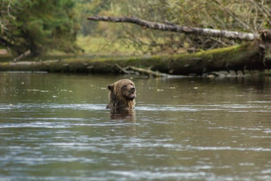 Telegraph Cove, Kanada: Subadult grizzly in the river, looking for salmon