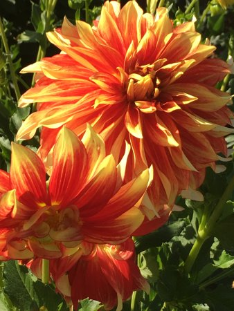 Canby, OR: Just one of what must be hundreds of varieties of dahlias