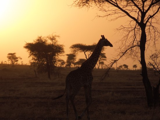 Región de Arusha, Tanzania: Giraffe at sundown in Serengeti