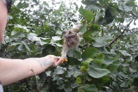 Ambre Resort & Spa: Feeding the monkeys...