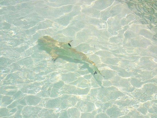 Kuramathi: Baby shark :)