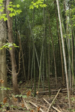 Kings Mountain, Carolina del Norte: Bamboo Forest .