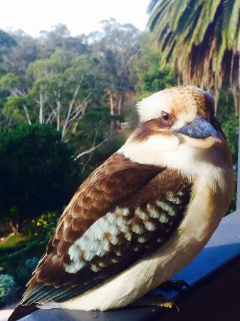 Hepburn Springs, Austrália: Visitor to the verandah