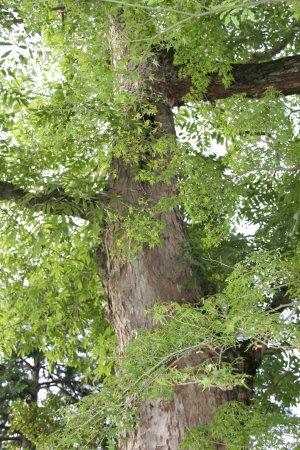 Kawanishi, Ιαπωνία: ムクロジの御神木です