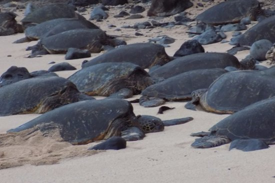 Paia, Havaí: Turtles Resting for the Night