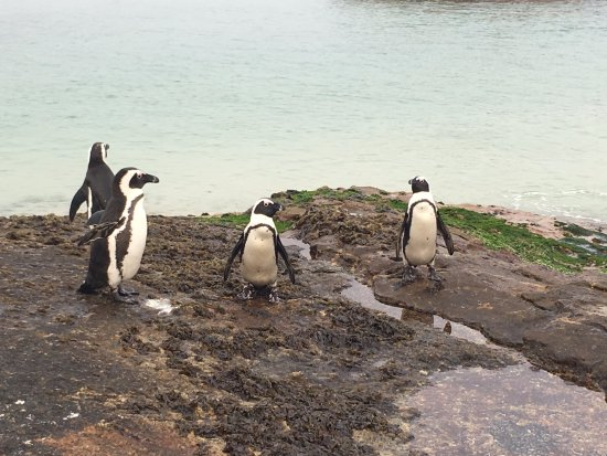 Boulders Beach: Pinguins bem de perto