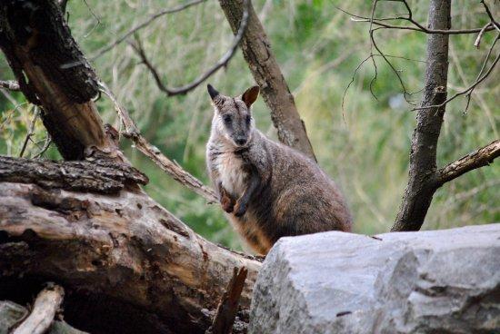 Healesville, Australia: Rock Wallaby