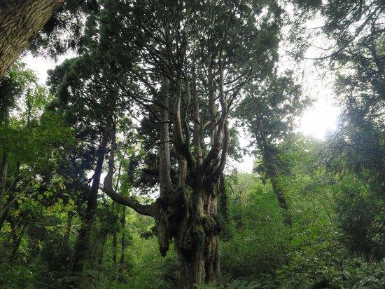 Pine Tree, Chichi