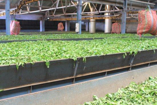 Tea Factory - Processing of tea leaves