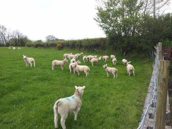 Llandysul, UK: Our nearest neighbours (you can see them from your room!)