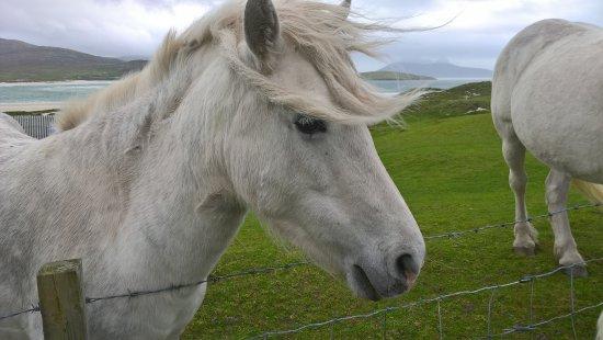 Argyll i Bute, UK: A handsome Highland Pony