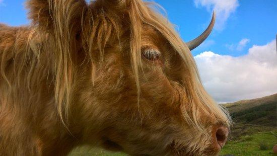 Argyll and Bute, UK: Highland Coo
