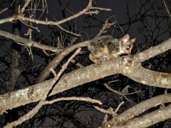 Vaalwater, Republika Południowej Afryki: Bushbaby in the garden - a wonderful sighting!