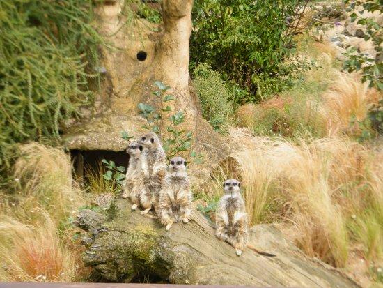 Trinity, UK: Meercats