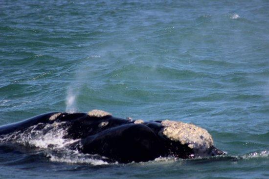 Гансбаай, Южная Африка: Southern Right Whale