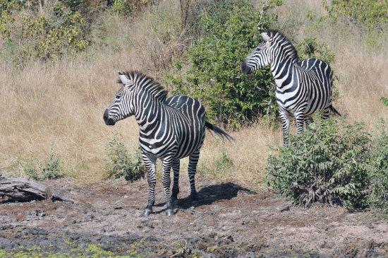 Selous Game Reserve: Zebre nella Riserva del Selous Sud Tanzania