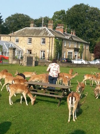 Spennymoor, UK: Feeding the deer